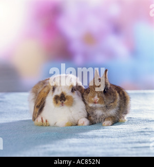 young lop-eared rabbit and young pygmy rabbit - Stock Photo