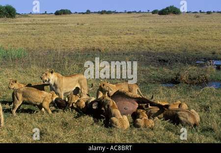 Lion pride feeding on a fresh buffalo kill - Photo 11of lion kill sequence Okavango delta; Botswana - Stock Photo