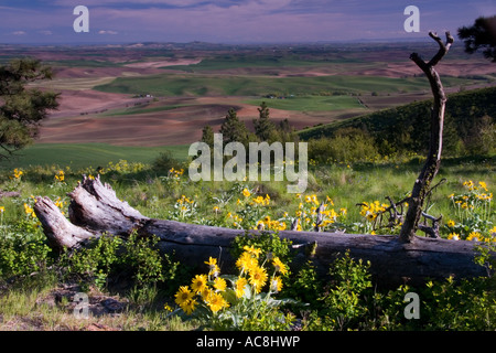 View of the Palouse from Kamiak Butte with balsamroot in bloom Washington - Stock Photo