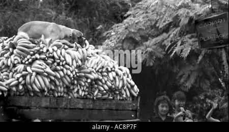 A dog sleeps on top of a huge mound of bananas moving by truck from a plantation in Costa Rica - Stock Photo