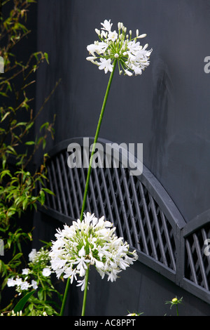 2 White Agapanthus Flower Heads against a grey wall. Show garden 'ALBA'.  DESIGNER: VIVIENNE WALBURN