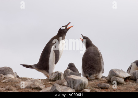 Two Gentoo Penguins calling (Pygoscelis papua) - Stock Photo