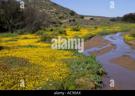 Yellow Button flowers (Cotula species) growing alongside stream, near Kamieskroon Namaqualand, north-western Cape; - Stock Photo