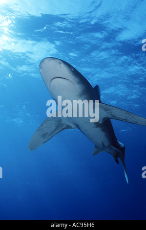 oceanic whitetip shark, whitetip shark, whitetip oceanic shark (Carcharhinus longimanus, Carcharhinus maou), from - Stock Photo