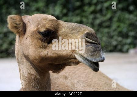 Dromedar Camelus dromedarius - Stock Photo