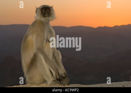 Portrait of an adult gray langur monkey (Semnopithecus entellus) watching the sunset at the Monsoon Palace. - Stock Photo