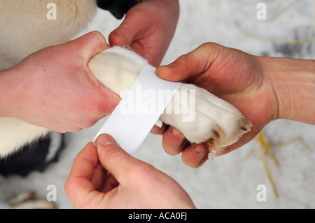 Musher taping husky paw - Stock Photo