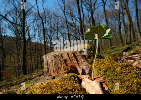 Beech Seedling in front of a stump in a forest - Stock Photo