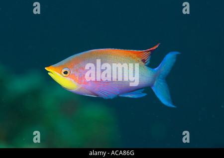 Male purple anthias, Pseudanthias tuka, Philippines, Pacific Ocean - Stock Photo
