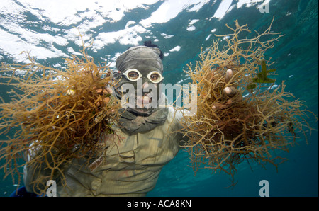Philippine diver harvesting seaweed. Using a T-Shirt on his head as sun protection, Philippines, Pacific Ocean, - Stock Photo