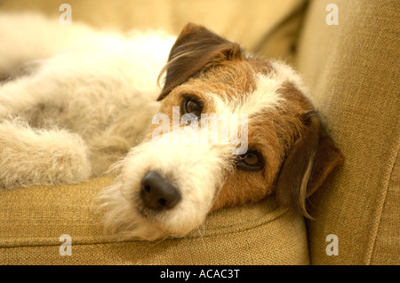dog on sofa - Stock Photo