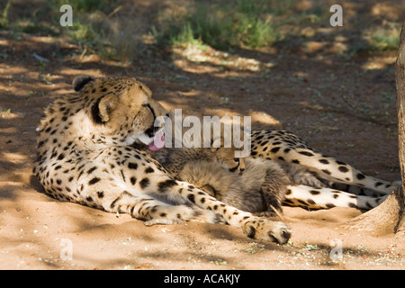 Cheetah mother with cups, Namibia, Africa - Stock Photo