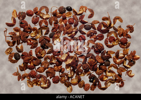 Sichuan pepper (Zanthoxylum piperitum) - Stock Photo