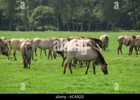 Wild horses at Merfelder Bruch near Duelmen, North Rhine-Westfalia, Germany - Stock Photo