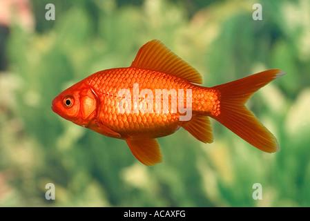 Goldfish, Carassius auratus, captive - Stock Photo