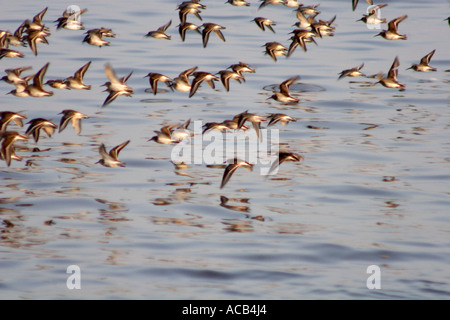 Flock of Oystercatchers, Haematopus ostralegus, blurred in flight over the sea, UK - Stock Photo