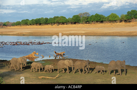 Elephant herd in line on the banks of the river South Luangwa National Park Zambia - Stock Photo