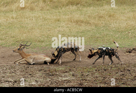 Two Wild dogs killing male Impala Mana Pools National Park Zimbabwe - Stock Photo