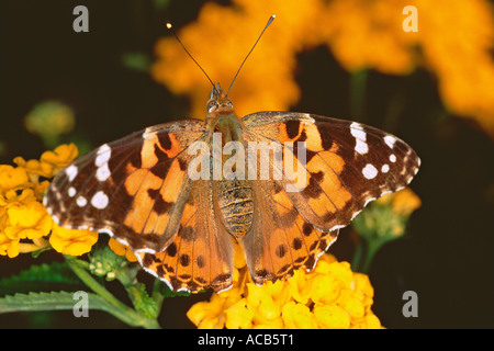 Painted lady butterfly Cynthia cardui on a lantana flower France - Stock Photo