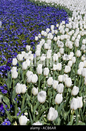 Field of white tulips and blue pansies - Stock Photo