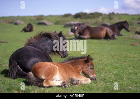 Dartmoor Ponies - Stock Photo
