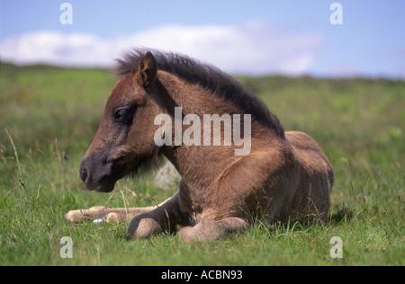 Dartmoor Pony Foal  - Stock Photo