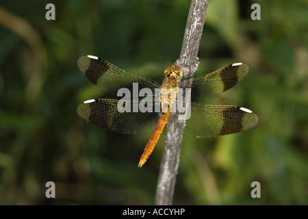 Sympetrum pedemontanum resting on dead branch - Stock Photo