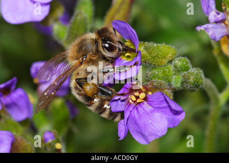 Honigbiene, honeybee, Apis mellifera - Stock Photo