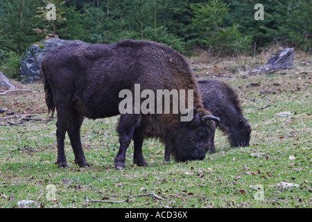 Bison, Bison bonasus - Stock Photo
