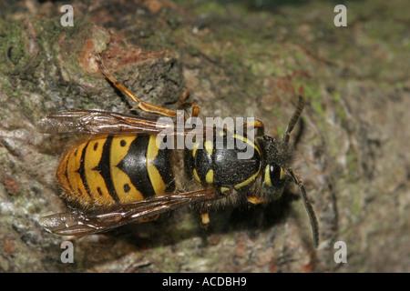 Common Wasp Vespula vulgaris Queen Dorsal View - Stock Photo
