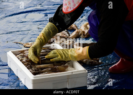 Korean woman packing squid on piers cheongjin fishing for Free fishing piers near me