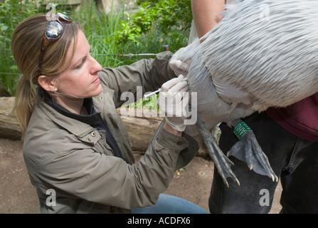 Zoo veterinary Dr. Sandra Silinski vaccinating a dalmatian pelican (pelecanus crispus) against bird flu - Stock Photo