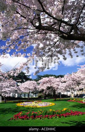 Cherry Blossom trees in full flower at Berkeley Square in Cheltenham Gloucestershire county England UK - Stock Photo