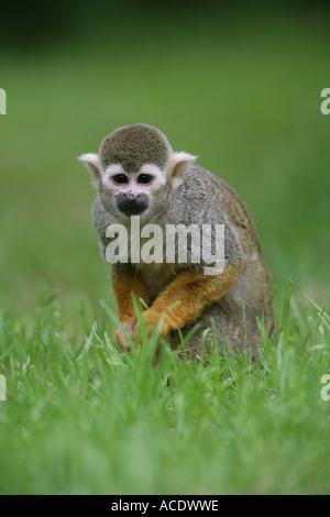 Squirrel monkey in grass - Saimiri sciureus - Stock Photo