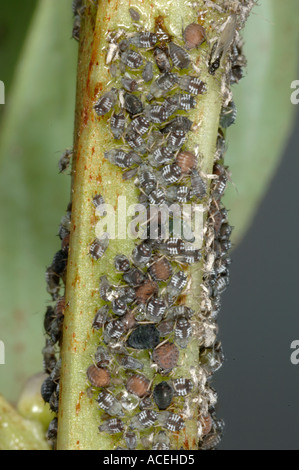 parasitoid wasp (Braconidae), parasite infestation of a