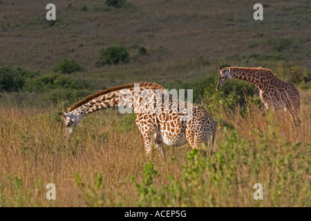 Reticlated Giraffes browsing amongst thorn bushes and savanna country in Nairobi National Wildlife and Game Park, - Stock Photo
