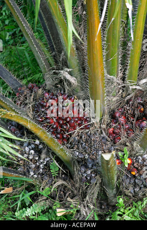 Bunches of palm oil fruit from rapid growing trees ready for harvesting on plantation, Ghana, West Africa - Stock Photo