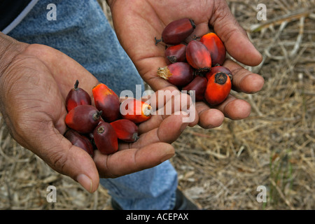 Close up of ripe palm oil fruit from rapid growing trees in farmer's hands, Ghana, West Africa - Stock Photo