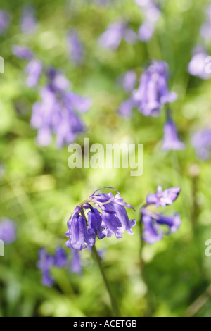 Close up of Bluebell flower in woodland UK - Stock Photo