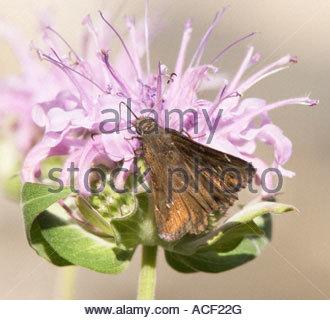 Sưu tập Bộ cánh vẩy 2 - Page 30 Deva-skipper-atrytonopsis-deva-butterfly-hesperiidae-subfamily-hesperiinae-acf22g