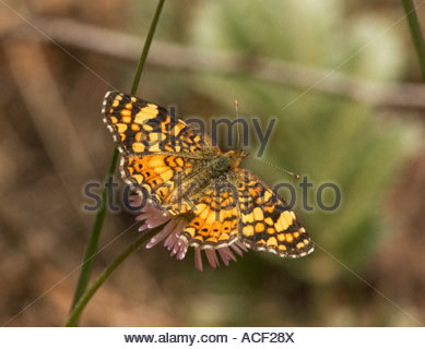 Mylitta Crescent Phyciodes mylitta Butterfly - Stock Photo