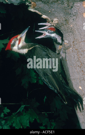 A Pileated Woodpecker Pryocopus pileatus at its nest Two hungry young chicks stretch upwards for food - Stock Photo