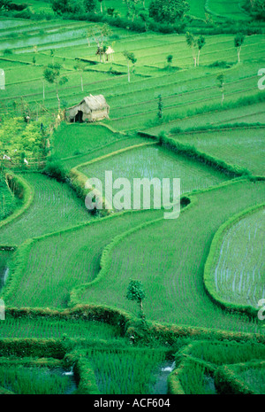 Thatched hut in field of terraced rice paddies Bali Indonesia - Stock Photo