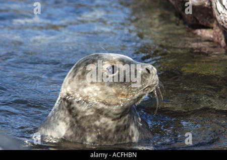 Grey Seal pup Halichoerus grypus on North Ronaldsay Island in the Orkney Islands Scotland - Stock Photo