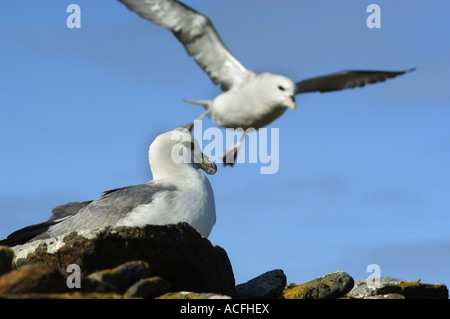 Fulmar Fulmarus glacialis flying against a blue sky on North Ronaldsay in the Orkney Islands - Stock Photo
