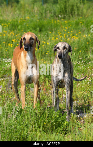 Sloughis pair - Stock Photo