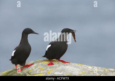 Black Guillemot Courting pair with fish Cepphus grylle Mousa Island Shetland Islands UK BI010302 - Stock Photo