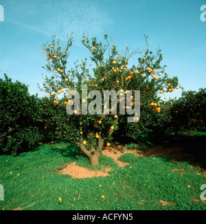 Scaly bark caused by citrus psorosis virus killing an orange tree - Stock Photo