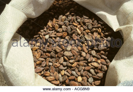 Dried fermented cocoa beans in a sack - Stock Photo