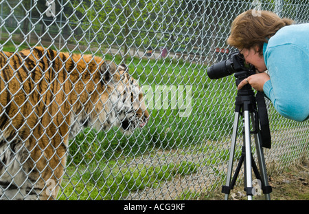 captive siberian tiger and amateur photographer - Stock Photo